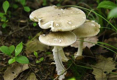 野生蘑菇中毒事件高发
